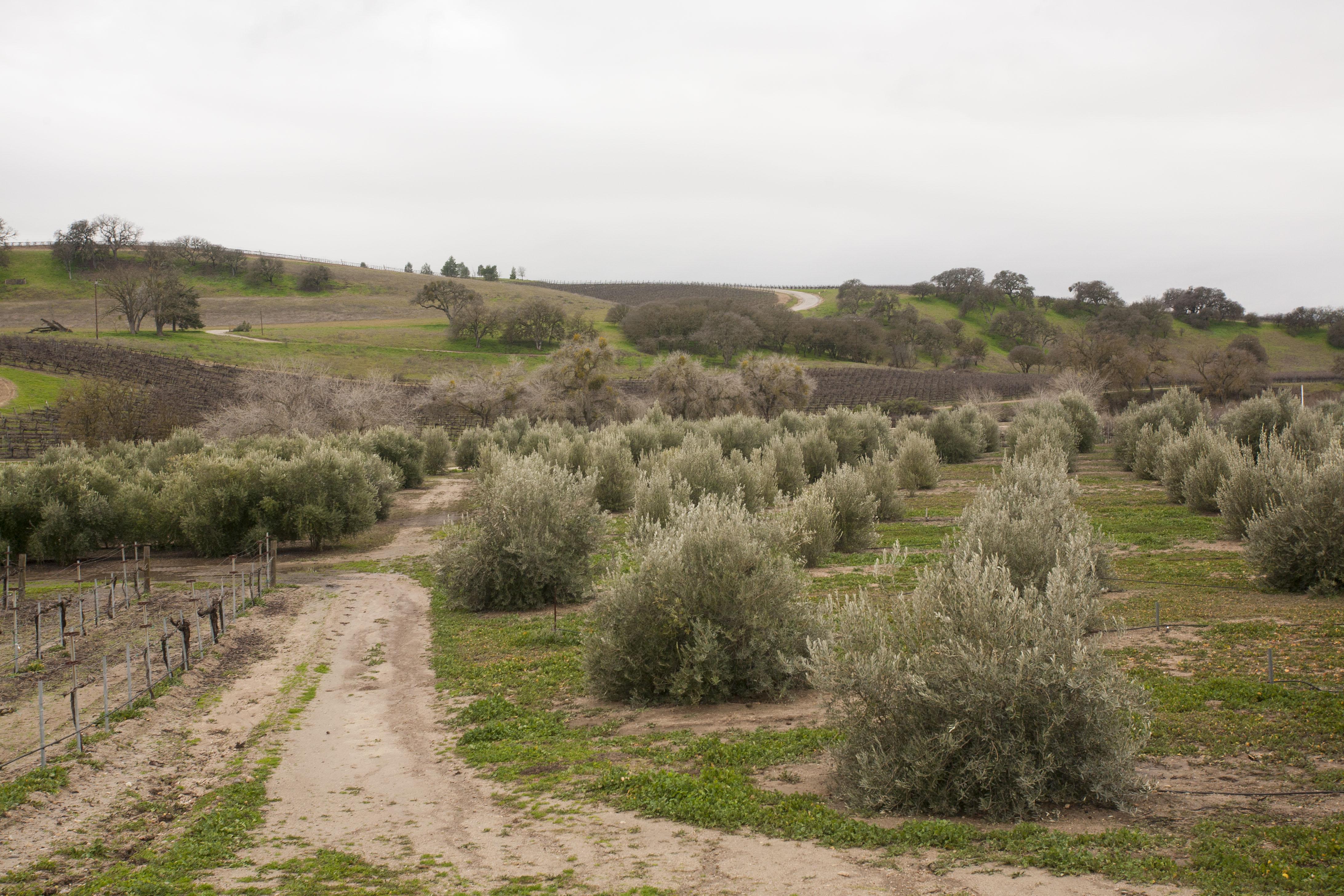 Olive bushes