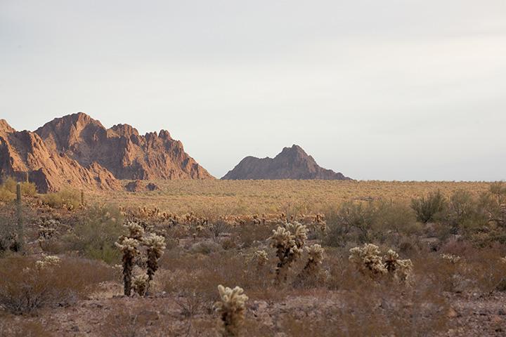 Cholla cactuses